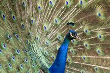 Free Peacock Royalty Free Stock Image - 20923576
