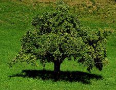Free Apple Tree Royalty Free Stock Photo - 20923865