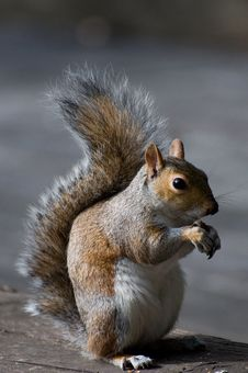 Free Squirrel In London Stock Images - 20924494
