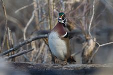 Free Wood Duck Royalty Free Stock Image - 20927666