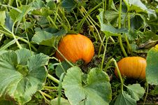Pumpkin On The Vine Royalty Free Stock Photos