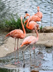 Free Flamingo Stock Photography - 20929142