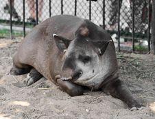 Free Sleeping Tapir Royalty Free Stock Image - 20929156