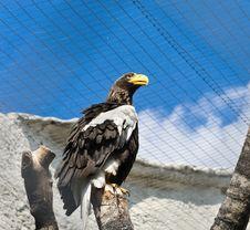 Free White-winged Eagle Stock Image - 20929161