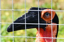 Free African Horned Crows Stock Image - 20929171