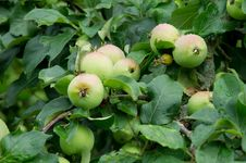 Free Apples Royalty Free Stock Photography - 20929217