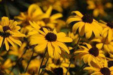 Brown Eyed Susans Stock Photo