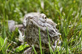 Free Bearded Dragon Stock Image - 20931331