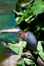 Free Green Heron On Tree Branch Royalty Free Stock Images - 20932159
