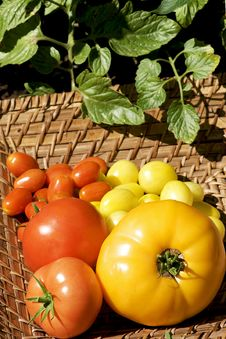 Free Variety Colorful Tomatoes Royalty Free Stock Photography - 20930297