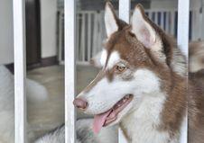 Free Siberian Husky Stock Image - 20931281