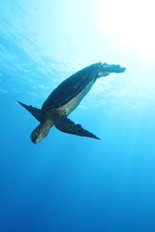 Free Hawaiian Green Sea Turtle Stock Photos - 20931733