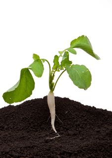 Free White Radish In Soil Stock Photo - 20932490