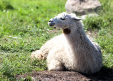Free Lama Royalty Free Stock Image - 20932696