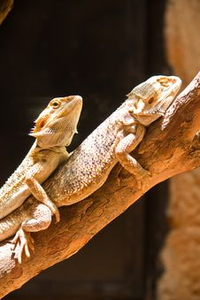 Free Mating Of Bearded Dragons (pogona Vitticeps) Royalty Free Stock Photos - 20933418