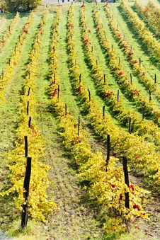 Autumnal Vineyards Royalty Free Stock Photo