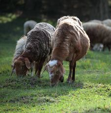 Free Sheep Are Grazing Stock Photo - 20933500