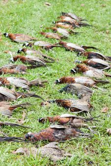 Free Caught Pheasants Stock Photo - 20933590