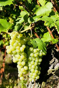 Free Grapevine In Vineyard Stock Photo - 20933650