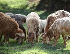 Free Sheep Are Grazing Stock Photos - 20933653