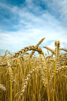 Free Wheat Stock Photos - 20934993