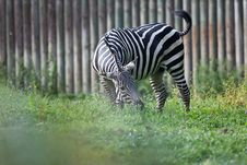 Free Zebra On Pictoral Background Stock Image - 20938441