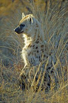 Free Baby Hyena Royalty Free Stock Image - 20938986
