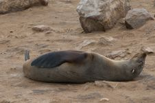 Free Sea Lion Royalty Free Stock Photo - 20939875