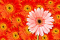 Free Pink And Red Chrysanthemum Flower Royalty Free Stock Photos - 20941918