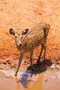 Free Fallow Deer Stock Images - 20947824
