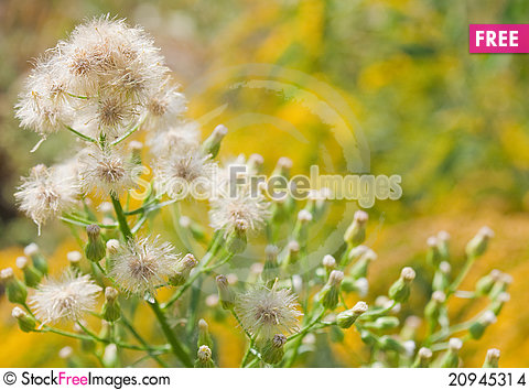 Free Close Up Of Dandelions On Yellow Background Stock Images - 20945314