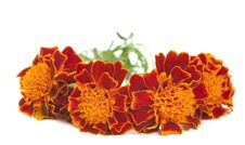 Free Marigold Flower Royalty Free Stock Image - 20940666