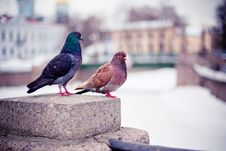 Free A Couple Of Pigeons Royalty Free Stock Image - 20941226