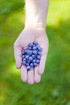 Free Fresh Bilberry In Hand Stock Photos - 20941363