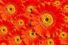 Free Red Chrysanthemum Flower Stock Photo - 20941630