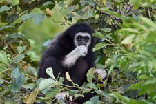 Free Gibbon Among The Leaves Royalty Free Stock Photos - 20941688