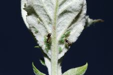 Aphids And Ants Royalty Free Stock Image