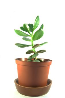 Free Money Tree Royalty Free Stock Photo - 20941885