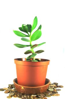 Free Money Tree Royalty Free Stock Photography - 20941887