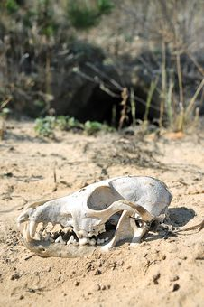 The Skull In The Desert. Royalty Free Stock Photography