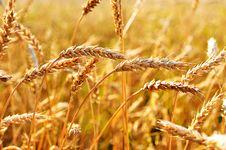 Free Wheat Royalty Free Stock Photos - 20942318