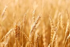 Free Wheat Crop Stock Photography - 20942322