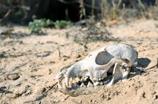 The Skull In The Desert. Royalty Free Stock Photo