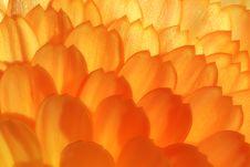 Free Wild Yelow-orange Flower Extra Macro View Royalty Free Stock Photo - 20944845