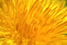 Free Dandelion Royalty Free Stock Photo - 20944865