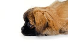 Free Puppy Dog Face Is Looking Royalty Free Stock Photo - 20945065