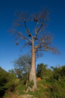 Tall Baobab Tree Royalty Free Stock Photo