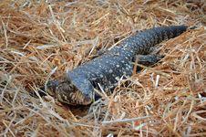 Free African Savannah Monitor Stock Photos - 20945703