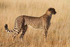Free Female Cheetah Royalty Free Stock Photography - 20947017