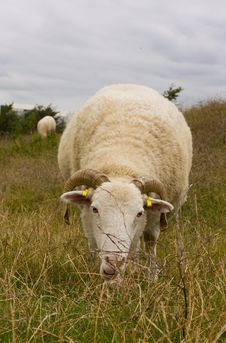 Free Grazing Sheep Royalty Free Stock Photography - 20947107